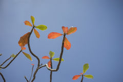 Autumn red leave with blue sky background.nature color picture style.selective focus. Royalty Free Stock Photography