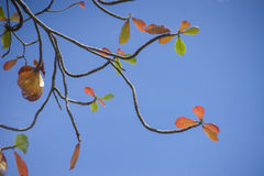 Autumn red leave with blue sky background.nature color picture style.selective focus. Stock Photos