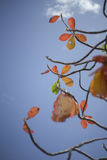 Autumn red leave with blue sky background.nature color picture style.selective focus. Stock Photography