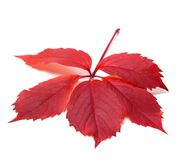 Autumn red leave (Virginia creeper leaf) Stock Photography