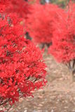 Autumn Red Leaves. Close up view of red leaves Royalty Free Stock Photography