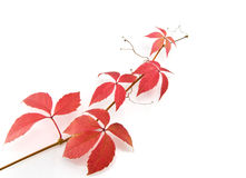 Autumn red leaves Royalty Free Stock Images