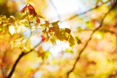 Autumn red leaves Stock Images