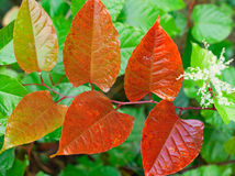 Autumn red leaves on branch Stock Image