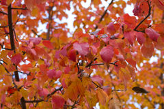 Autumn red leaves on branches. Of apple tree Royalty Free Stock Photo