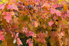 Autumn red leaves on branches. Of maple tree Stock Image