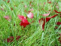 Autumn red leaves on green grass, macro closeup. Royalty Free Stock Images