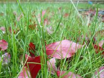 Autumn red leaves on green grass, macro closeup. Royalty Free Stock Image