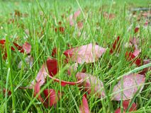 Autumn red leaves on green grass, macro closeup. Royalty Free Stock Photos