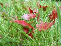 Autumn red leaves on green grass, macro closeup. Royalty Free Stock Photo