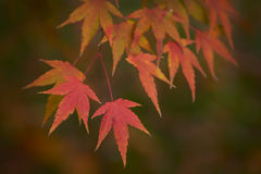 Autumn red leaves Royalty Free Stock Photos