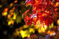 Autumn red leaves. Over darker background stock image