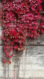 Autumn Red Leaves over Wall Background. Colored Leaves Natural scene with wall Royalty Free Stock Image