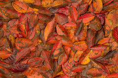 Autumn red leaves. Autumn pattern with bright red leaves of aspen Royalty Free Stock Photo