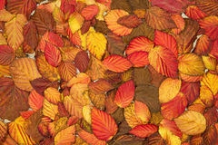 Autumn red leaves. Autumn pattern with bright red raspberry leaves Stock Photography