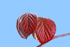 Autumn red leaves of a raspberry Stock Photos
