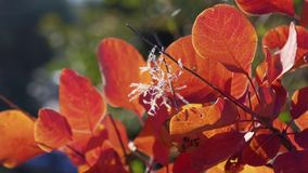 Autumn red leaves in sunlight. Sprig with red leaves in sunlight in autumn stock footage