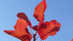 Autumn red leaves in sunlight. Twig with red leaves against the blue sky stock footage