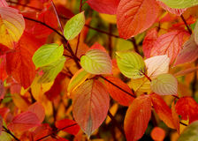 Autumn. Red leaves Royalty Free Stock Photos