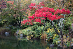 Autumn red leaves tree japanese garden Royalty Free Stock Photos