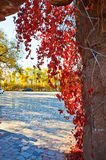 The autumn red leaves vine Stock Photography