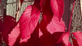 Autumn red leaves and a weathered wall stock video