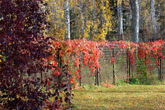 The autumn red liana Stock Photography