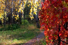 The autumn red liana Royalty Free Stock Images