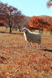 Autumn red maple forest herd of goat Royalty Free Stock Photography