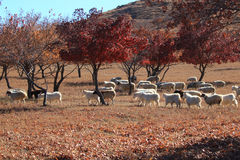 Autumn red maple and goats Stock Photography