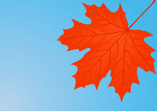Autumn red maple leaf. Royalty Free Stock Image