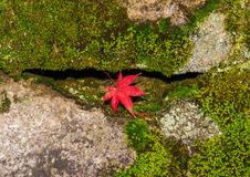 Autumn red maple leaf. Arrival of Autumn in Japan. Red maple leaf among green moss and rocks stock images
