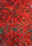 Autumn Red Maple Leaf Background. Close up image of Red Maple tree leaves in mid autumn. Fall background image Royalty Free Stock Images