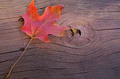 Autumn red maple leaf Royalty Free Stock Image