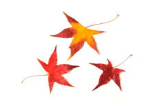 Autumn red maple leaf isolated on white Royalty Free Stock Photos