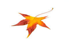 Autumn red maple leaf isolated on white Royalty Free Stock Photography