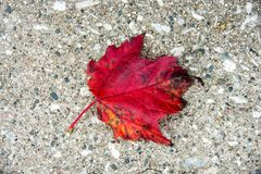 Autumn red maple leaf on pebblestone Royalty Free Stock Photography