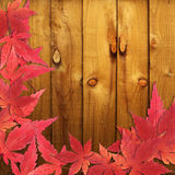 Autumn red maple leaves Royalty Free Stock Images