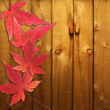 Autumn red maple leaves Royalty Free Stock Image