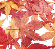 Autumn red maple leaves Stock Image