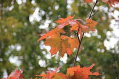 Autumn Red Maple Leaves Stockbilder