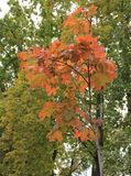 Autumn Red Maple Leaves Stockbild