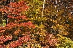 Autumn Red Maple Leaves Lizenzfreie Stockbilder