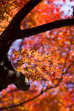 Autumn red maple leaves background. Beautiful red maple leaves and trunks against brilliant background Royalty Free Stock Photos