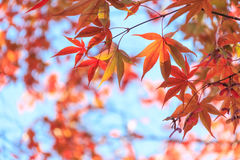 Autumn red maple leaves background Royalty Free Stock Image
