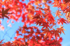 Autumn red maple leaves background Stock Photos