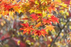 Autumn red maple leaves background Stock Photography