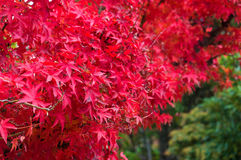 Autumn red maple leaves close up background Stock Photography