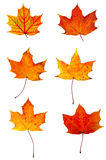Autumn red maple leaves collection Royalty Free Stock Images