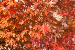 Autumn red maple leaves Stock Images